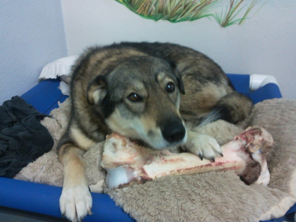 A happy dog with a giant bone -Full tummies mean happy pets at Geln Park Pet Hotel
