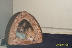 Two sets of eyes peek out from the terrier carrier brought to Glenpark Pet Hotel by a wise pet owner