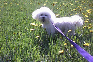 A perfectly coiffed poodle enjoys outside time at Glenpark Pet Hotel near the Edmonton International Airport