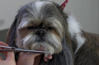 A patient pup waits as a careful Glenpark Pet Hotel worker gently trims his beard