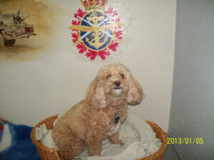 A contented Cocker chills out in the Armed Forces Room at Glenpark Pet Hotel just west of Leduc.
